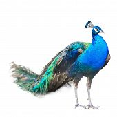 picture of indian peafowl  - Beautiful Male Indian  Peacock Isolated On White Background - JPG