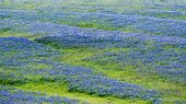 picture of bluebonnets  - Open meadow in Texas containing numerous colorful bluebonnets - JPG