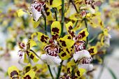 pic of yellow orchid  - Blooming yellow with brown Orchids zigopetalum closeup - JPG