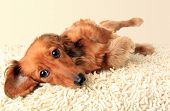 picture of dachshund  - Longhair dachshund puppy lying down on the carpet - JPG