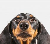 picture of dachshund dog  - Cute dachshund dog on a white background - JPG
