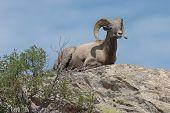 Bighorn Sheep Resting