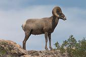 Bighorn Sheep Standing