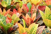 picture of crotons  - details of many croton on the markets  - JPG