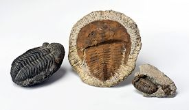 image of paleozoic  - 500 million years old Cambrian period Trilobites from Morocco - JPG