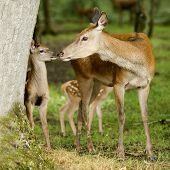 Deer With Her Fawn