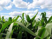 Blue Skies & Green Corn