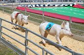 GREEN COVE SPRINGS, FLORIDA - APRIL 4: Pigs race at the Clay County Fair on April 4, 2010 in Green Cove Springs, Florida.