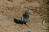 Gray Pidgeon