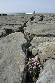 Thrift on Limestone pavement