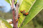 image of winnebago  - A group of Milkweed bugs  - JPG