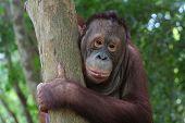 Orang Utan on the tree