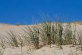 Marram Grass, Bent or Beach Grass in sand dunes near Baltic sea