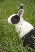 stock photo of peter cottontail  - black and white rabbit in the grass - JPG