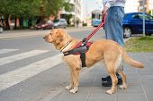 Guide Dog Is Helping A Blind Man poster
