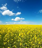 flowers of oil in rapeseed field with blue sky and clouds