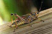 Eatern Lubber Grasshopper