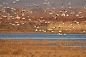Snow Goose Fly In