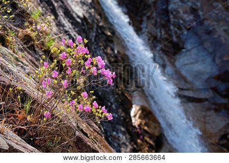 Rhododendron Mucronulatum Korean Rhododendron flower