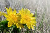 Yellow Flowers Of Adonis Vernalis