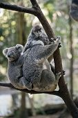 The Koala Has Her Joey On Her Back While Resting On A Tree Branch poster