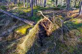 A Fallen Uprooted Pine Tree In Natural Environment, In A Beautiful Old Forest. Bare Roots And Soil,  poster