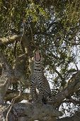 Leopard yawning in a tree in the Masai Mara