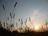 Silhouettes of grass against the setting sun.