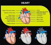 VECTOR - Human Heart Section Parts (Aorta, Right & Left Atrium & Ventricle, Pulmonary Artery, Tricuspid Aortic Mitral Valves, Cardiac Muscle, Superior & Inferior Vena Cava) Medical & Educational Use