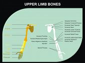 Upper Limb Bones of Human Body - All Major Bones (clavicle, scapula, humerus, clinic, radius, ulna, carpus, metacarpus, phalanges), and basic marks on the bones, for clinics & educational use