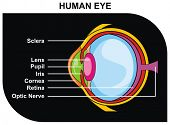 VECTOR - Human Eye Cross-Section including Eye Parts (sclera, lens, pupil, iris, cornea, retina, opt