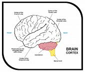 VECTOR - Human Brain Diagram - including ( cortex of frontal, partial, occipital, temporal Lobes ) -