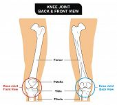 Knee Joint - Front and Back View - Bones ( Femur, Tibia, Fibula, Patella) - Kneecap