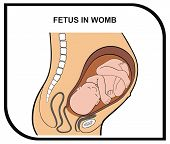VECTOR - Fetus in Womb - Helpful for Education in Schools, Colleges, Universities and Useful for Clinics