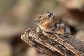 Pika Resting On Rock