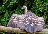 Ruppells Vulture Sitting On A Branch And Spreading Its Wings, Revealing All Its Feathers, Beautiful poster