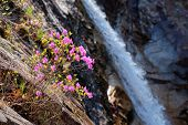 Rhododendron Mucronulatum Korean Rhododendron flower with Biryong Falls Waterfall in Seoraksan Natio poster