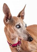 portrait of an old blind dog, Italian Greyhound - eyes with cataract poster