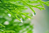 Raindrops on a Cedar Tree