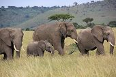 elephants waking in Kenya