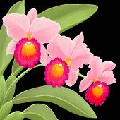 Pink Cattleya Orchid Plant