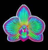 Blue Fantasy Phalaenopsis Orchid