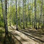 Sunshiny Birch Grove