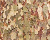 Platan Bark Wooden Background. Close Up Bark Of Sycamore. Natural Tree Bark Texture. poster