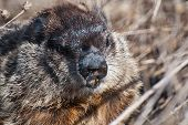 Groundhog's Face