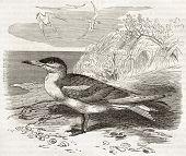 Caspian Tern old illustration (Hydroprogne caspia). Created by Kretschmer, published on Merveilles de la Nature, Bailliere et fils, Paris, ca. 1878