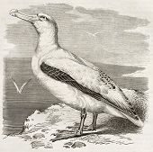 Wandering Albatross old illustration (Diomedea exulans). Created by Kretschmer, published on Merveilles de la Nature, Bailliere et fils, Paris, ca. 1878