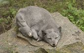 picture of arctic fox  - It is arctic fox sleeping on stone - JPG