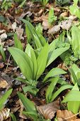 Young Ramsons In The Beech Forest
