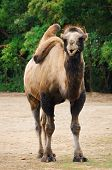 picture of hump  - Two humped Camel Standing On The Ground - JPG